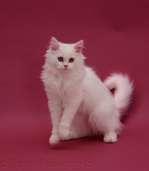 WP05543 White Persian-cross catten Tommy ( Cobweb x Annie ) on pink ...