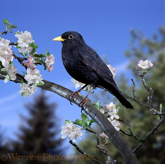 Blackbird (Turdus merula) male perched on apple bough in spring
