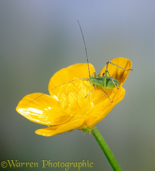 Speckled Bush Cricket (Leptophyes punctatissima) nymph on buttercup