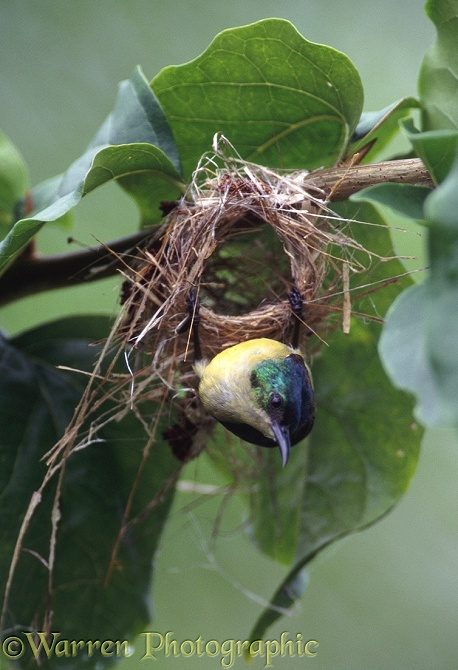Collared Sunbird (Anthreptes collaris) female nest-building.  Africa