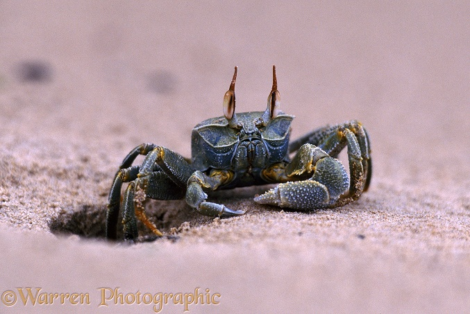 Sand crab (Ocypode species) at the mouth of its burrow.  East Africa