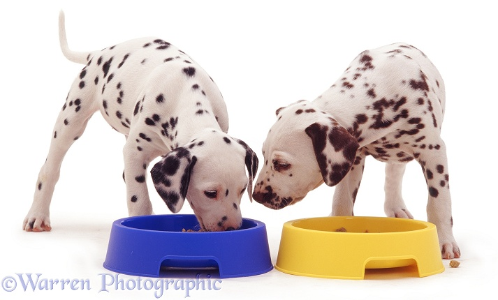 Dalmatian pups eating from plastic bowls, white background