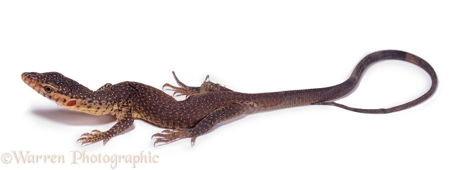 Goanna baby.  Australia, white background