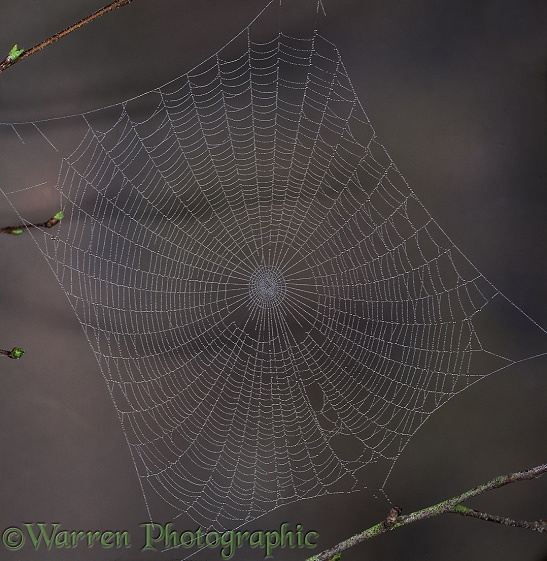 Dew-covered web of spider (unidentified)