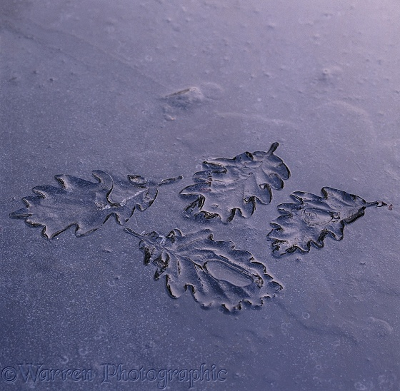 Impressions in ice caused by oak leaves absorbing warmth from the sun.  Surrey, England