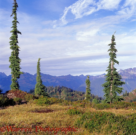 Alpine scenery with Mountain Hemlocks.  Washington State, USA