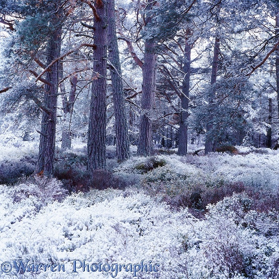 Scots Pine forest with snow.  Glen More, Scotland