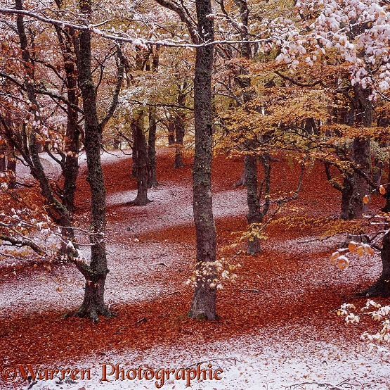 Autumnal beech woodland with snow.  Scotland
