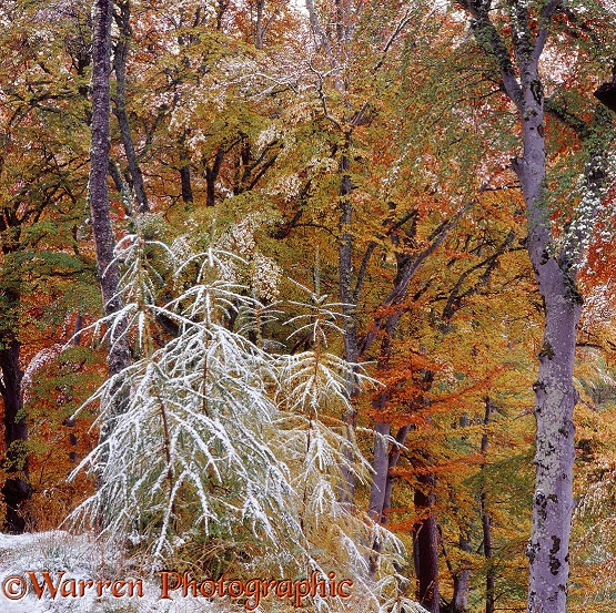 Autumnal beech woodland with snow