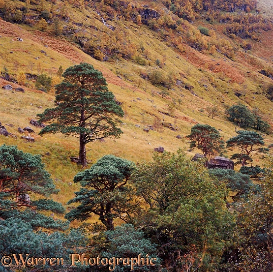 Autumnal scenery with Scots Pines.  Glen Nevis, Scotland
