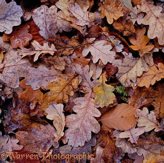 Fallen Beech (Fagus sylvatica) and Oak (Quercus robur) leaves.  New Forest, England