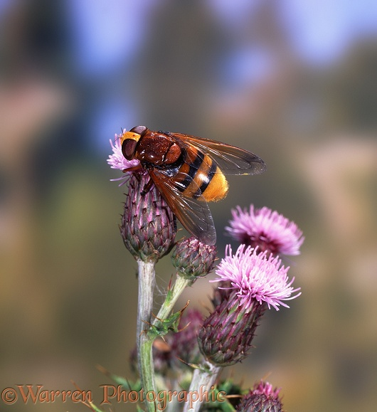 Giant Hover Fly (Volucella zonaria) feeding on Creeping Thistle