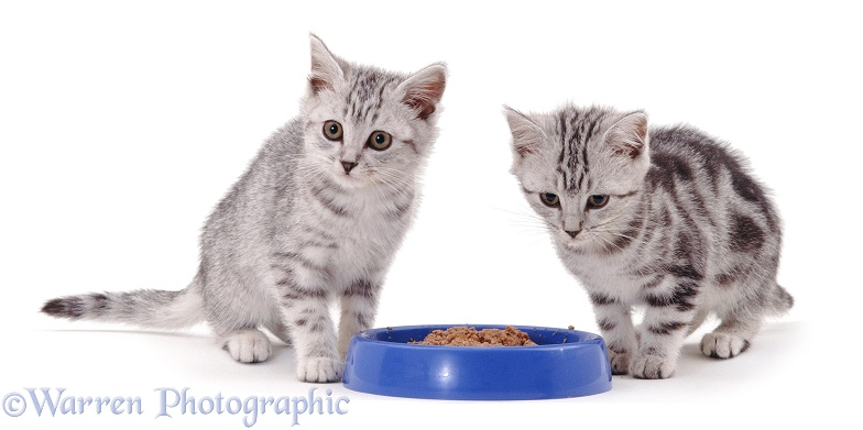 Two silver tabby kittens about to eat tinned cat food from a blue bowl, white background