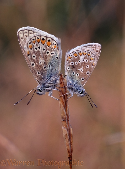Common Blue Butterflies (Polyommatus icarus) at sunrise.  Europe including Britain