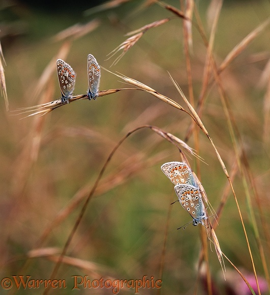 Common Blue Butterflies (Polyommatus icarus) roosting in pairs