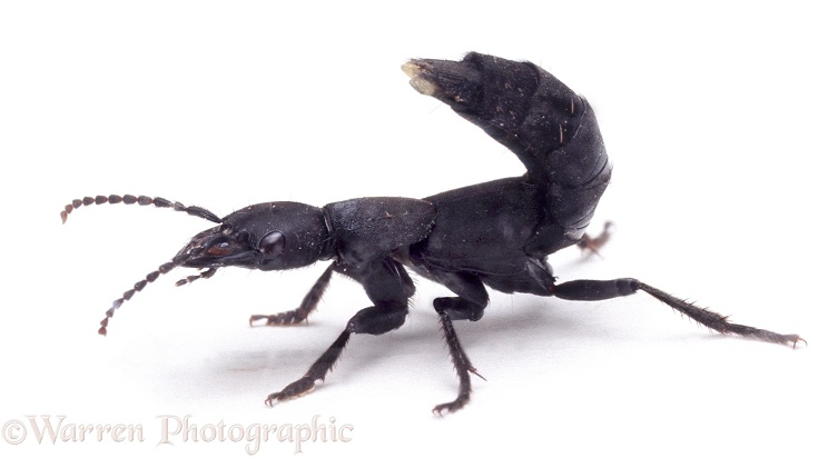 Devil's Coach-horse Beetle (Staphylinus olens) in defensive posture, showing scent organs at tip of tail, white background