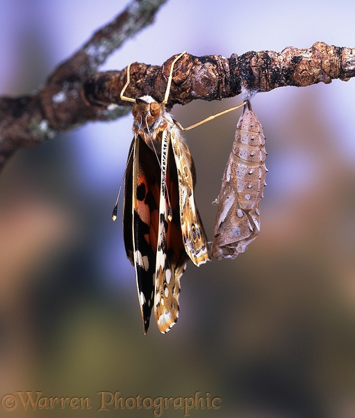 Painted Lady Butterfly (Cynthia cardui) starting to dry wings after hatching - No.4 of series