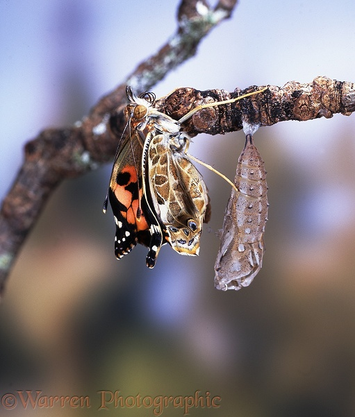Painted Lady Butterfly (Cynthia cardui) expanding wings after hatching - No.3 of series