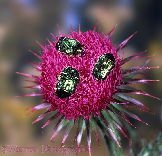 Rose Chafer Beetles (Cetonia aurata) feeding on Musk Thistle.  Europe including Britain