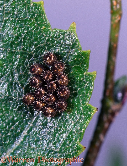Shield Bug (Heteroptera) eggs.  Britain