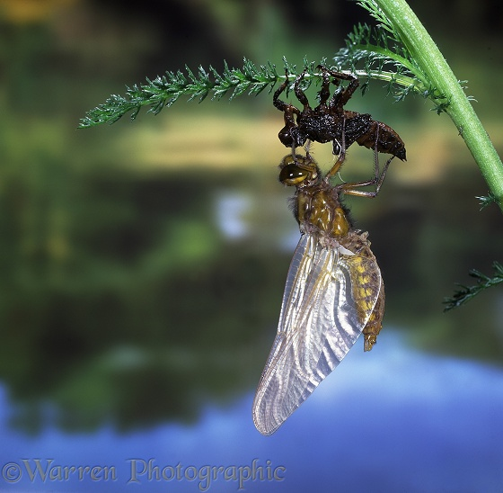Broad-bodied Chaser Dragonfly (Libellula depressa) newly emerged from nymphal skin.  Europe including Britain