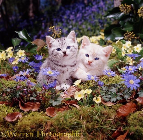 Cream and silver-spotted kittens among blue Wood Anemones and Primroses