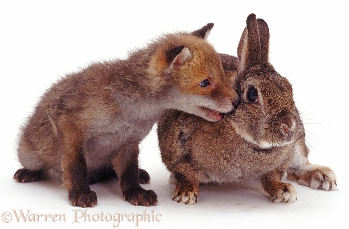 Rabbit and fox cub, white background