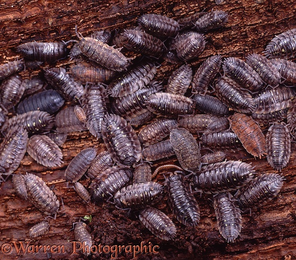 Common Woodlice (Oniscus asellus) congregating under tree bark.  Europe including Britain