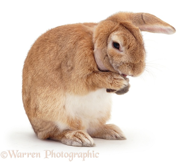 Sandy Lop doe rabbit, Lottie, licking the end of an ear to clean it, white background
