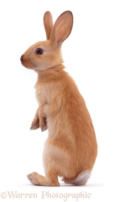 Young Sooty Fawn Rabbit standing up, white background