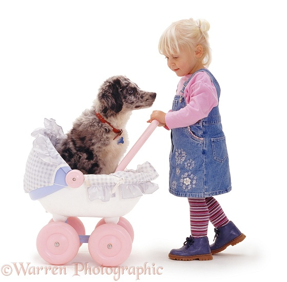 Siena pushing blue merle Border Collie pup Ash in a pink pram, white background