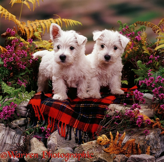 Two West Highland White Terrier pups, 7 weeks old, on Maclean dress tartan rug, among heather and bracken