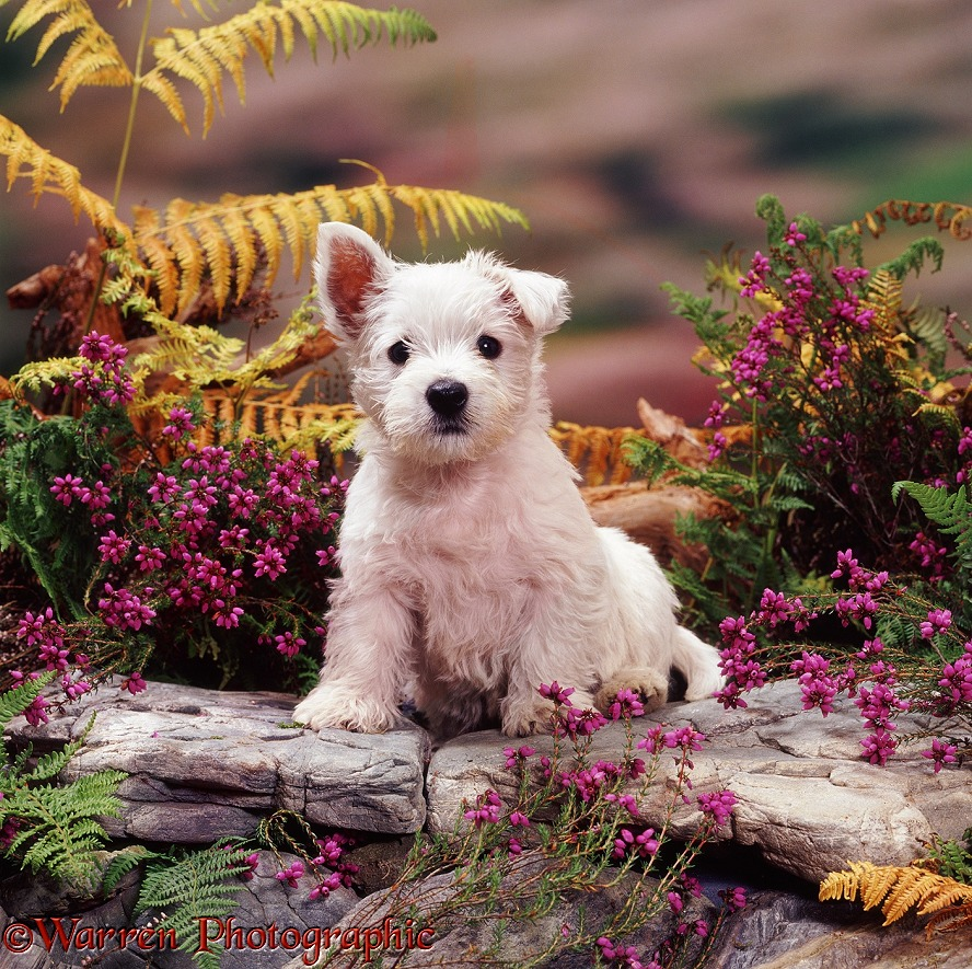 West Highland White Terrier pup, 7 weeks old, among heather and yellowing bracken
