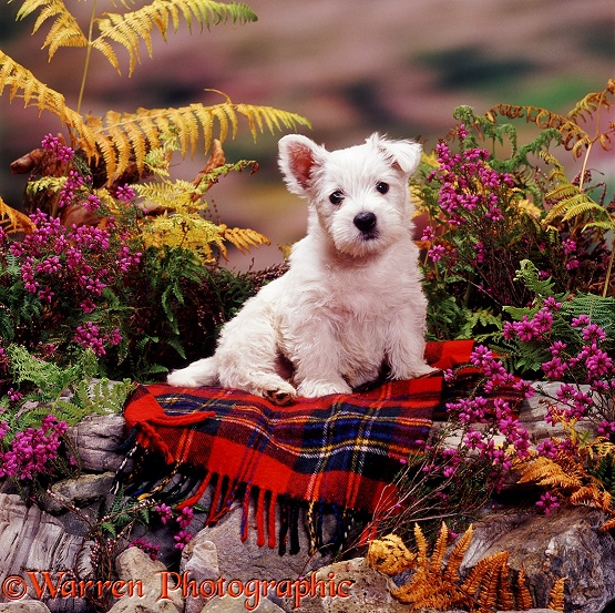 West Highland White Terrier pup, 7 weeks old, on Maclean dress tartan rug, among heather and bracken