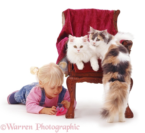 Siena with toy mouse and white cat Tommy and tricolour cat Thomasina on a child's chair. For 'Pussy cat, pussy cat where have you been?...', white background