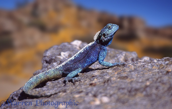 Southern Rock Agama (Agama atra) male.  South Africa