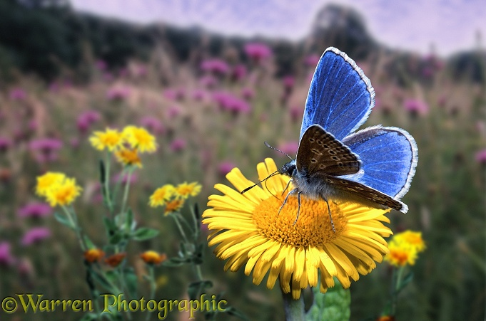 Adonis Blue Butterfly (Lysandra bellargus) feeding on Fleabane (Pulicaria dysenterica).  Europe, including Britain