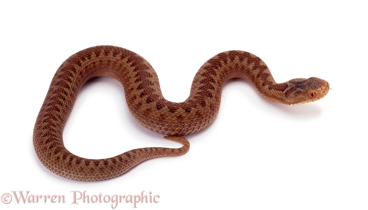 Adder (Vipera berus) baby, white background
