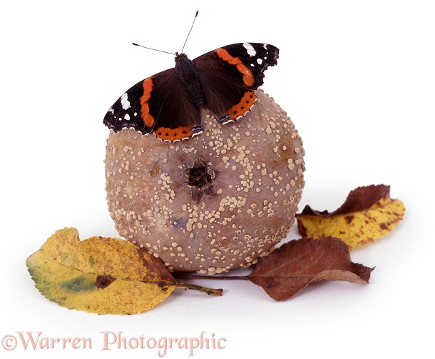 Red Admiral on rotten apple