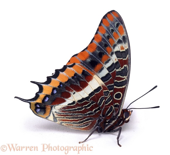 Two-tailed Pasha (Charaxes jasius).  Europe, white background