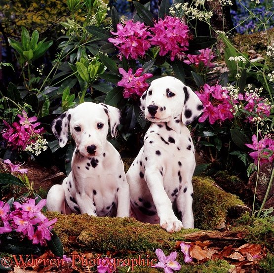 Two Dalmatian pups with flowering Rhododendron and Hedge Parsley