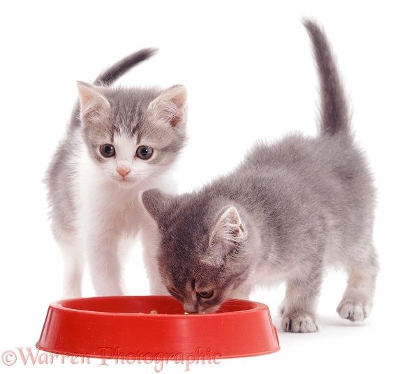 Two kittens eating from a plastic bowl, white background