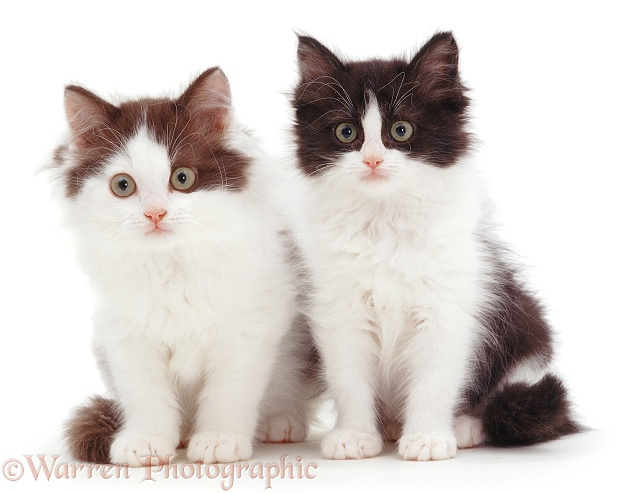 Black-and-white and Chocolate-and-white bicolour Persian-cross kittens, sitting, white background