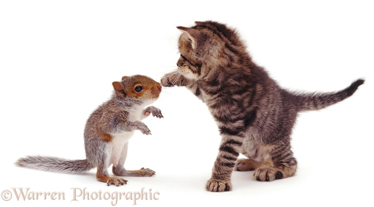 Baby Grey Squirrel and tabby kitten, white background