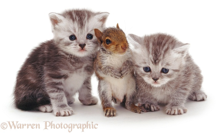 Baby Grey Squirrel and two silver tabby kittens, white background