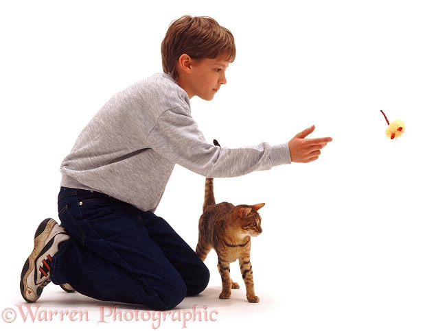 Joseph throwing a small soft toy for Brown Spotted Bengal cat to retrieve, white background