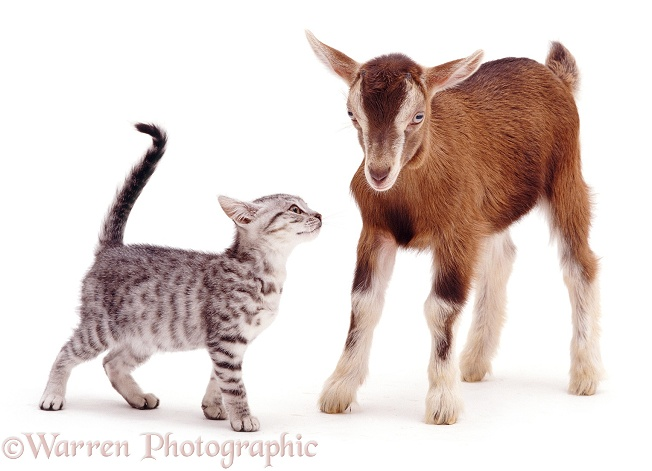 Silver spotted kitten Zep meets Toggenburg kid, white background