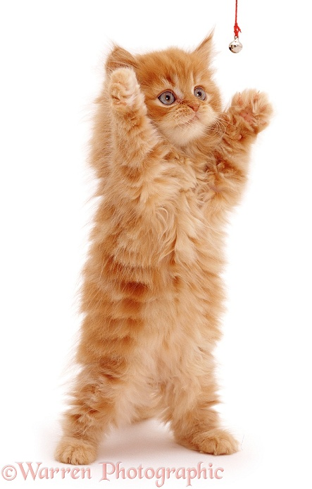 Red tabby longhaired Persian cross male kitten, Mr Rochester (Cosmos x Mollynew), 9 weeks old, white background