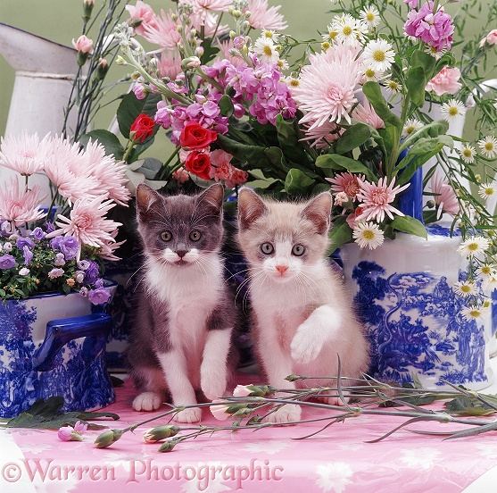 Two Hyacinth kittens on a florist's table, with blue-patterned pots and pink Chrysanthemums etc