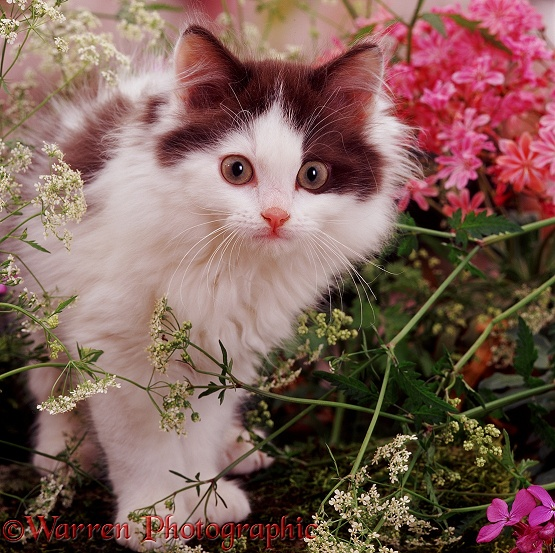 Chocolate-bicolour kitten among Hedge Parsley and Lewisia